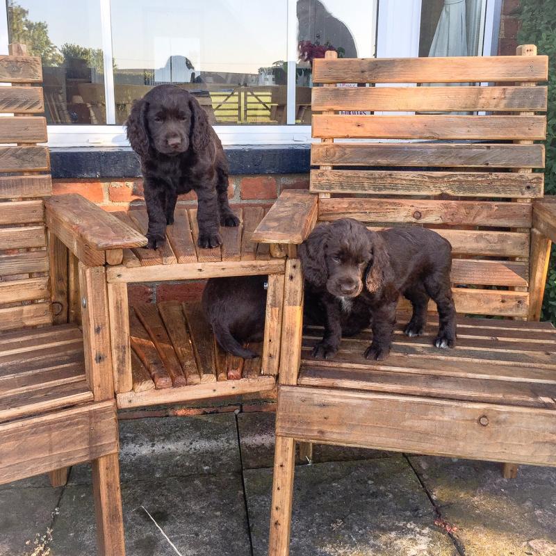 loveseat pups 2