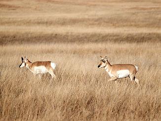 pronghorn-antelope-P3UHYN6_edited.jpg