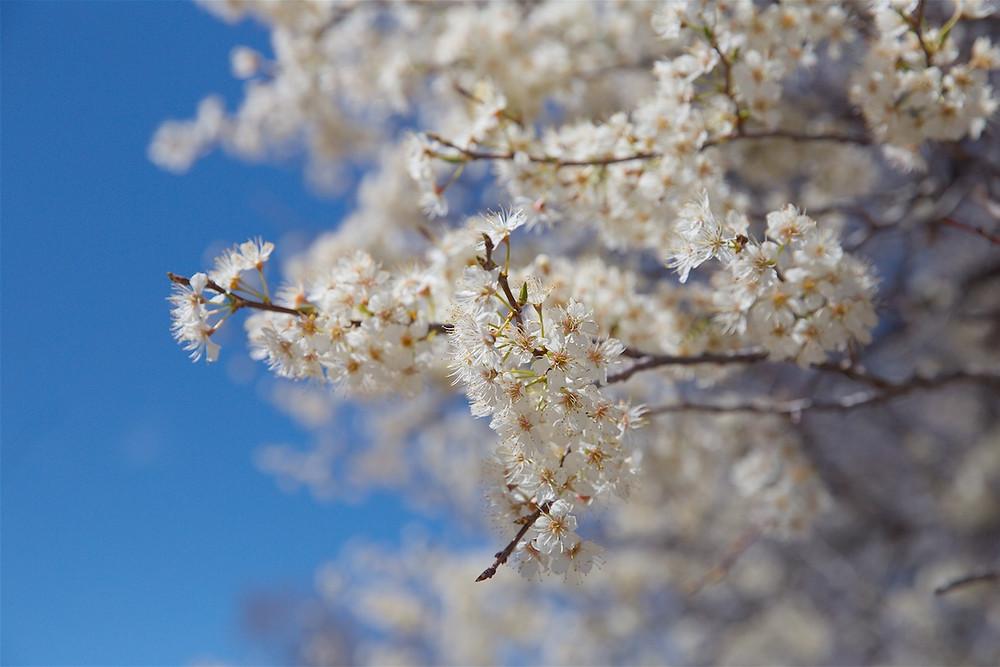 white flowering tree Cheyenne