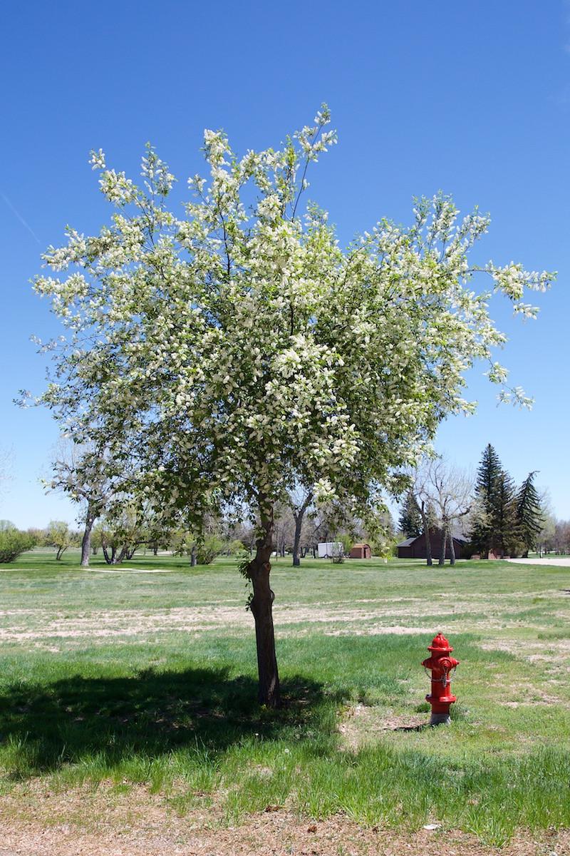 flowering tree Wyoming