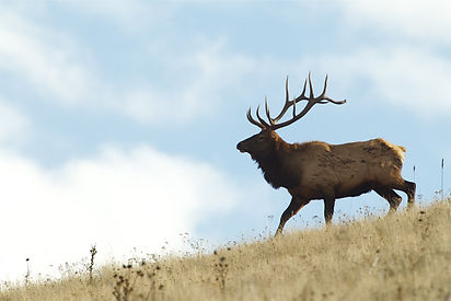 Large Bull Elk Stag walking on a grassy