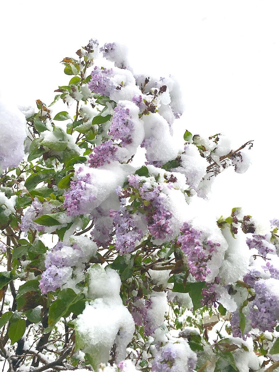 heavy snow on flowering tree
