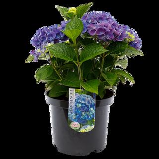 Macrophylla Blauw C5 (2).png