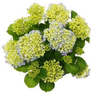 Forever & Ever Macrophylla Blauw (3).png
