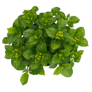 Forever & Ever Macrophylla Wit (3).png
