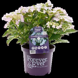 Forever & Ever Teller Blauw (2).png