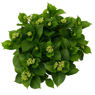 Forever & Ever Macrophylla Paars (3).png