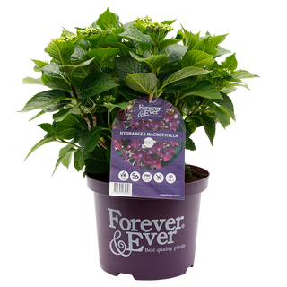 Forever & Ever Macrophylla Paars (2).png