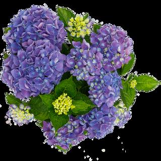 Macrophylla Blauw C5 (3).png