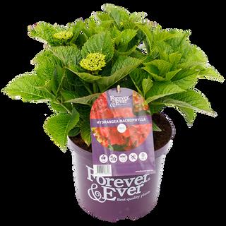 Forever & Ever Macrophylla Rood (1).png