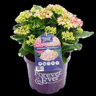 Forever & Ever Macrophylla Roze (1).png