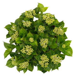 Forever & Ever Macrophylla Roze (3).png
