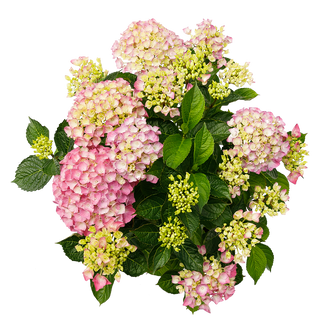 Macrophylla Roze (2).png