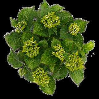 Macrophylla Paars (3).png