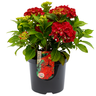 Macrophylla Rood C5 (5).png