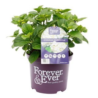 Forever & Ever Macrophylla Wit (2).png