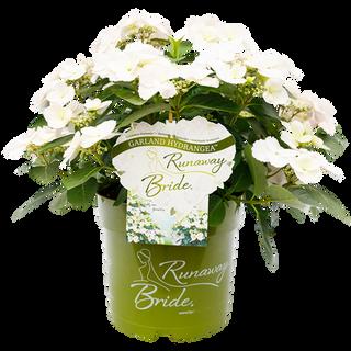Hydrangea Runaway Bride (2)kopie.png