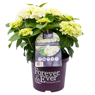 Forever _ Ever Macr. Wit (2).png