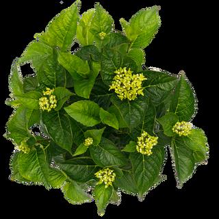 Macrophylla Blauw (3).png