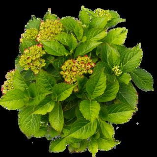 Macrophylla Rood (3).png
