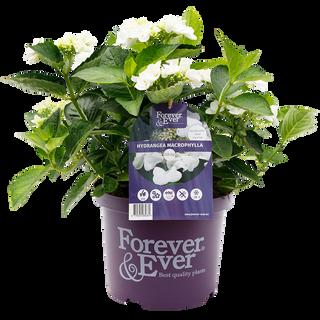 Forever & Ever Teller Wit (2).png