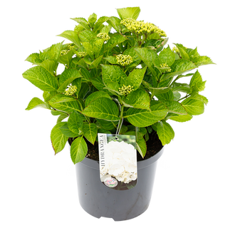 Macrophylla Wit (1).png