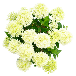 Hydrangea pan. Whitelight (3).png