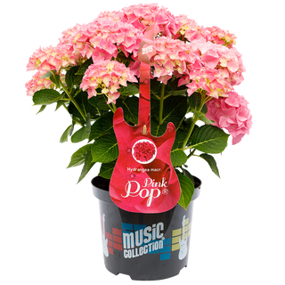 Music Collection Pink Pop (2).png