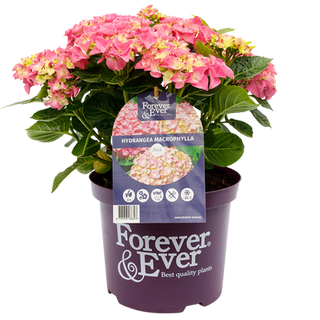 Forever _ Ever Macr. Roze (2).png
