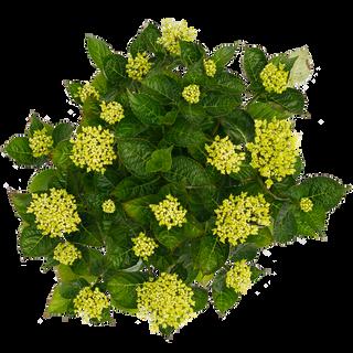 Macrophylla Roze (3).png