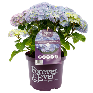 Forever _ Ever Macr. Blauw (2).png
