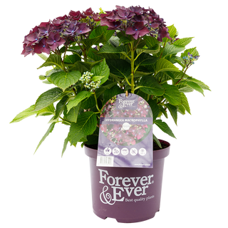 Forever _ Ever Paars C5 (2).png