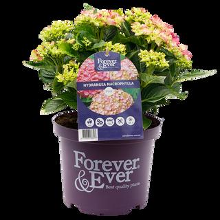 Forever & Ever Macrophylla Roze (2).png
