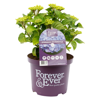 Forever & Ever Macrophylla Blauw (2).png