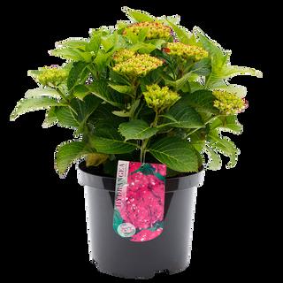 Macrophylla Paars (1).png
