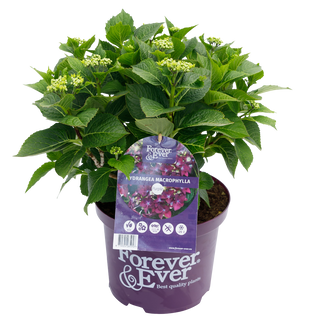 Forever & Ever Macrophylla Paars (1).png