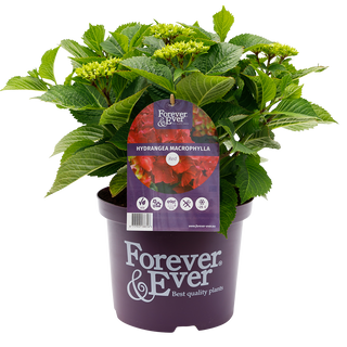 Forever & Ever Macrophylla Rood (2).png