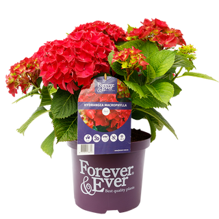 Forever _ Ever Rood C5 (2).png