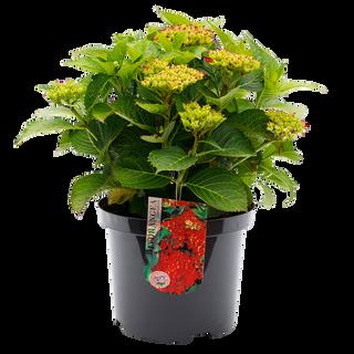 Macrophylla Rood (2).png