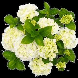 Macrophylla Wit (3).png