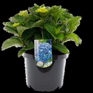 Macrophylla Blauw (2).png