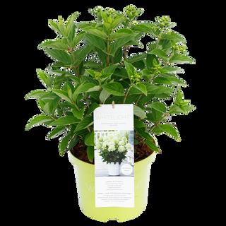 Paniculata Whitelight (1)_2.png
