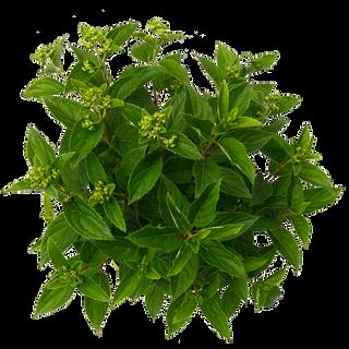Paniculata Whitelight (3)_2.png