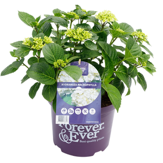 Forever & Ever Macrophylla Wit (1).png