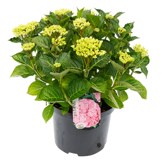 Macrophylla Roze (1).png