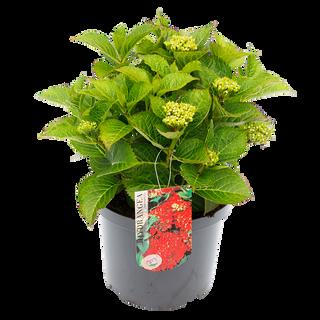 Macrophylla Rood (1).png