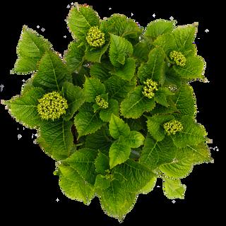 Forever & Ever Macrophylla Rood (3).png