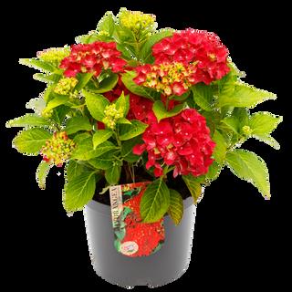 Macrophylla Rood C5 (4).png