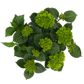 Magical Green Delight (3).png