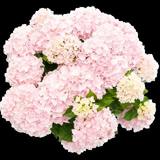 Music Colleciton Soft Pink Salsa (3).png